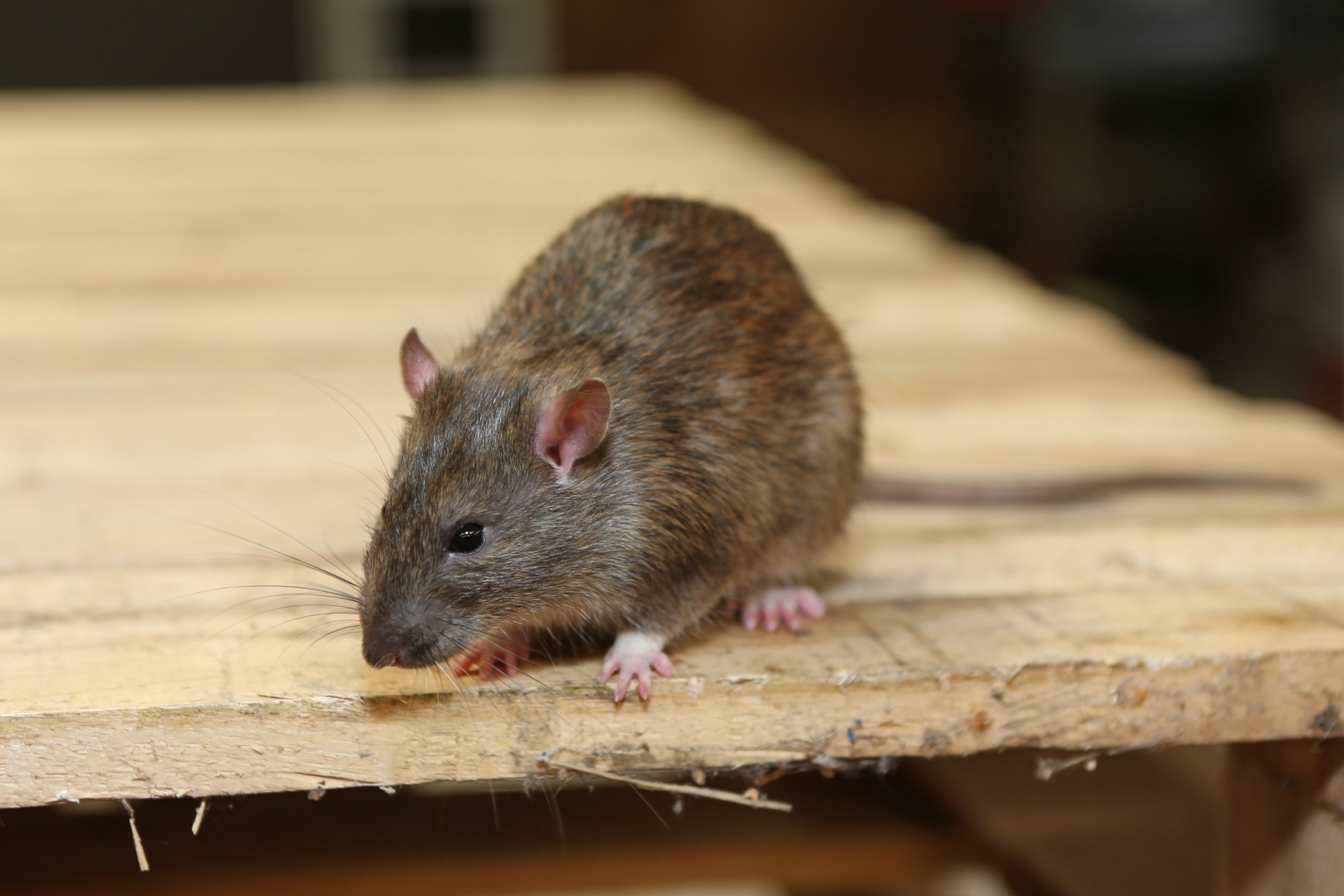 Rat Infestation, Pest Control in Edgware, Burnt Oak, HA8. Call Now 020 8166 9746